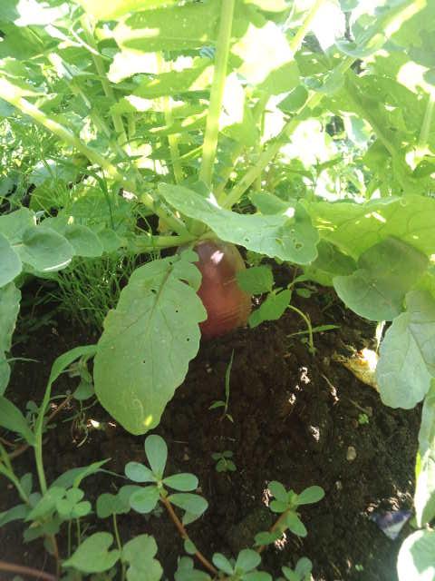 サツマイモ大根1 生えているところ