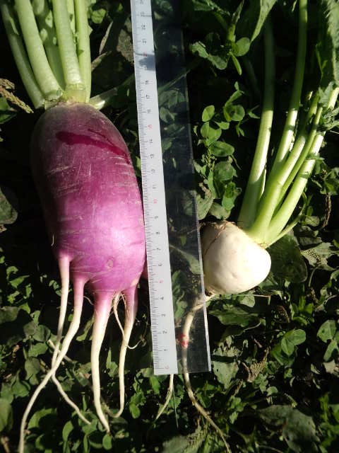 サツマイモ大根2 蕪との比較