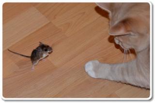 マウスの寿命