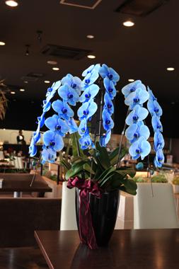 青い胡蝶蘭「ブルーエレガンス」