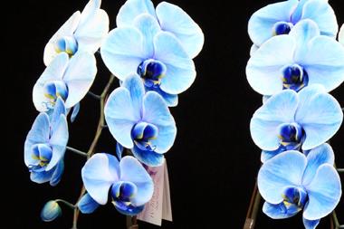 ブルーエレガンス~青い胡蝶蘭(コチョウラン)