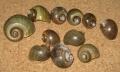 ジャンボタニシの殻