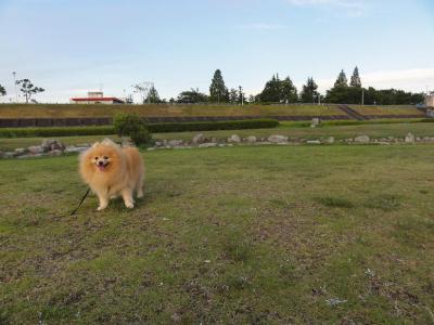 芝生で遊ぶシロン