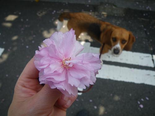 落ちてた八重桜とウィル