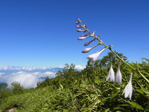 山並みと青空とギボウシ