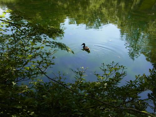 池の端とカモ