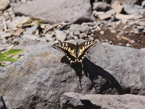 頂上で見た岩に泊まるアゲハチョウ