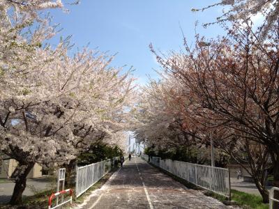 桜並木201205札幌