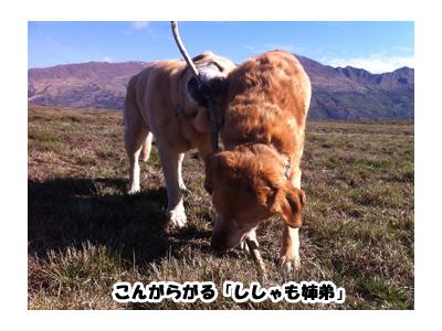 羊の国のラブラドール絵日記シニア!!ししゃもーず5