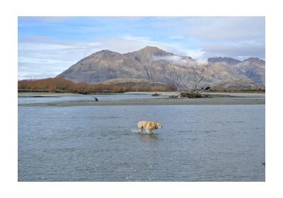 羊の国のラブラドール絵日記シニア!!写真WestWanaka2