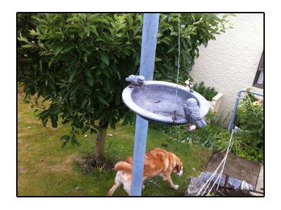 羊の国のラブラドール絵日記シニア!!写真日記「ミドルネームと庭」2