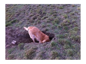 羊の国のラブラドール絵日記シニア!! 罰あたりな週末 穴掘り写真