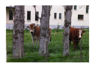 羊の国のラブラドール絵日記シニア!!写真日記Dunedin3
