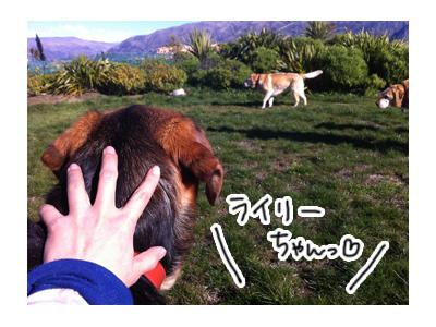 羊の国のラブラドール絵日記シニア!!ライリー6