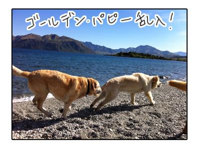 羊の国のラブラドール絵日記シニア!!写真日記2