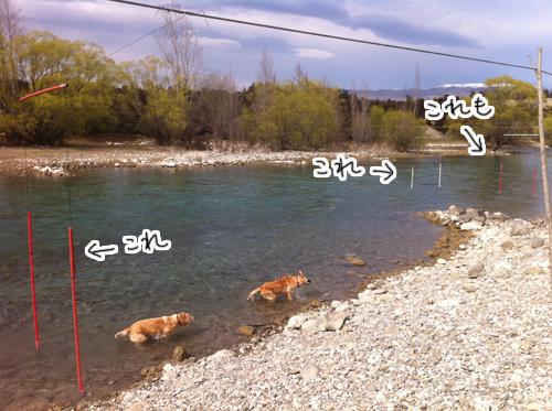 羊の国のラブラドール絵日記シニア!!キャンプ写真日記5