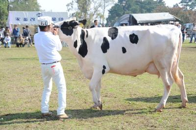 白が勝っている牛