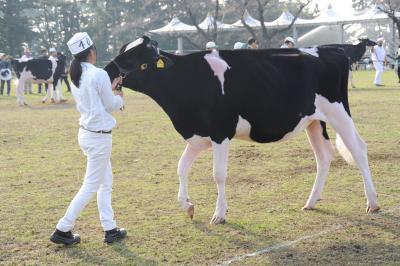 女性が引く牛