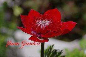 anemoneakam.jpg