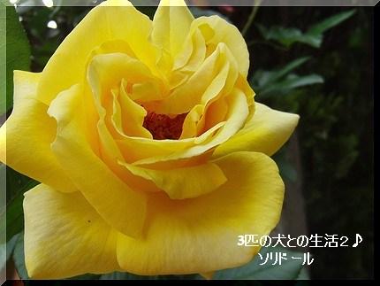 ソリドールがやっと咲いた