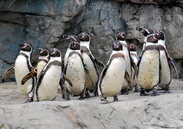 ペンギン11