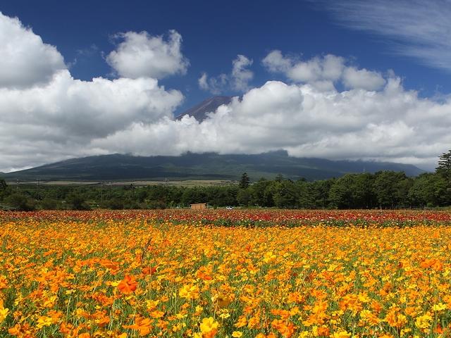 花の都公園 キバナコスモスと夏富士