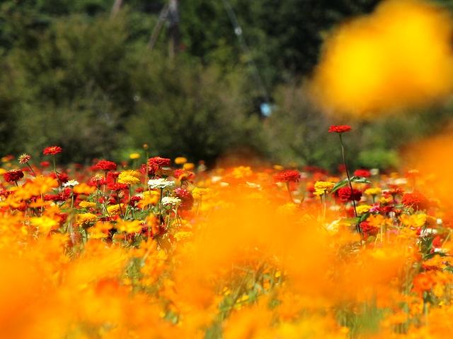 花の都公園 キバナコスモス越しの百日草