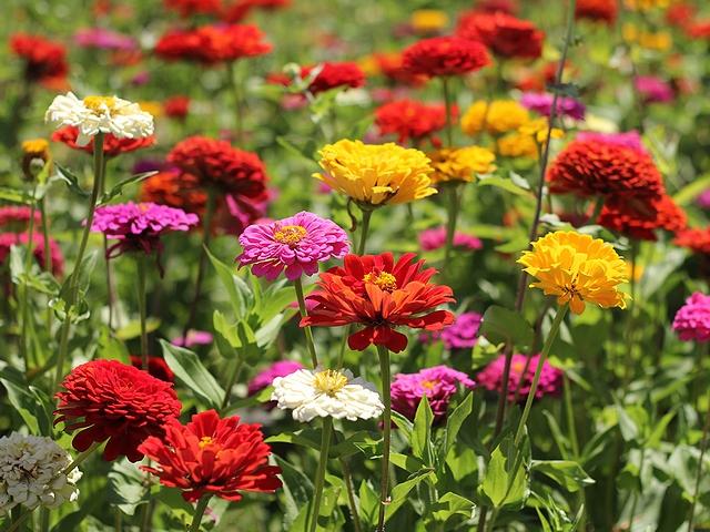 花の都公園 満開の百日草