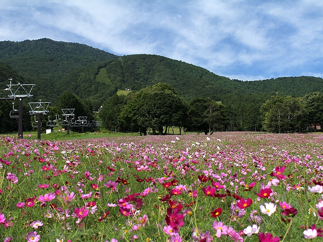 黒姫高原のコスモスと秋の空