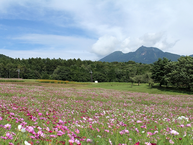 黒姫高原のコスモス 妙高山と