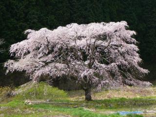 畑の中の桜