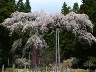 七反のしだれ桜