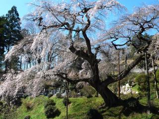 泉福寺のシダレザクラ
