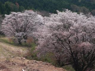 沓掛峠の山桜