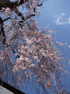唯信寺のしだれ桜