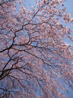 光明寺のしだれ桜