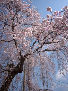 光明寺のしだれ桜 HDR