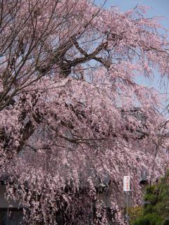 完全寺のしだれ桜