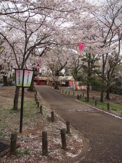 桜山のサクラ