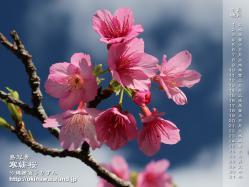 沖縄,壁紙,デスクトップカレンダー,寒緋桜