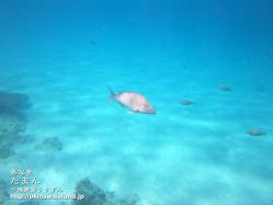 沖縄,たまん,海水魚,壁紙