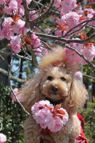 花しょうぶ園 ぼたん