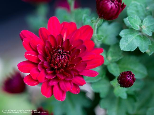 邪悪な赤い菊 開花