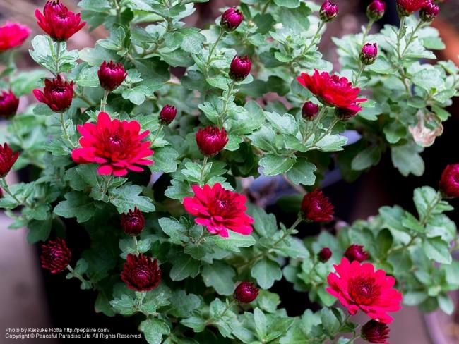 邪悪な赤い菊