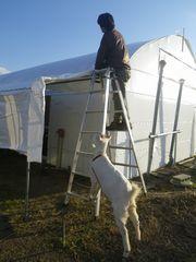 [写真]農園主が上っている脚立を足で押さえて支えるアラン