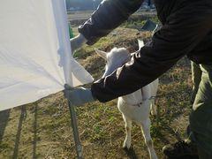 [写真]農園主からビニールの端の引っ張り方を教えてもらうアラン