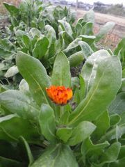 [写真]ポレポレ農園の花畑に植えたキンセンカの一番花