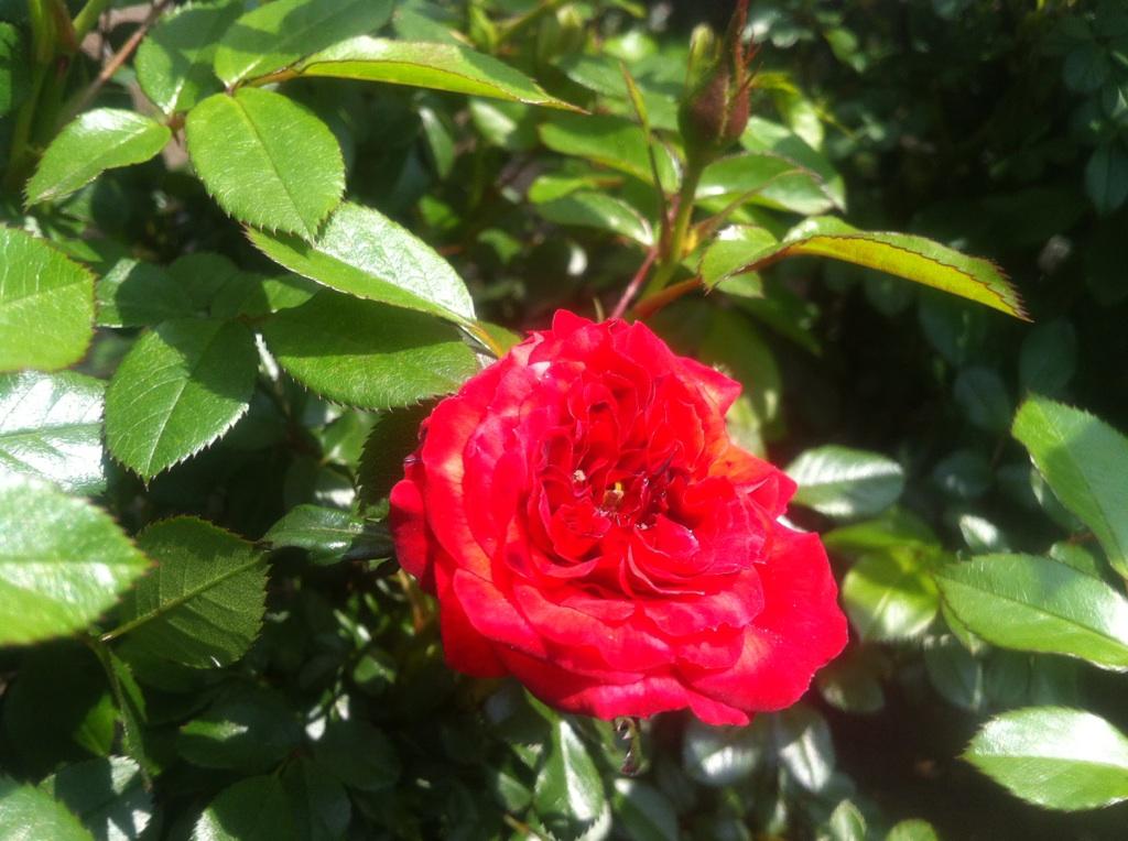 rosa1.jpg