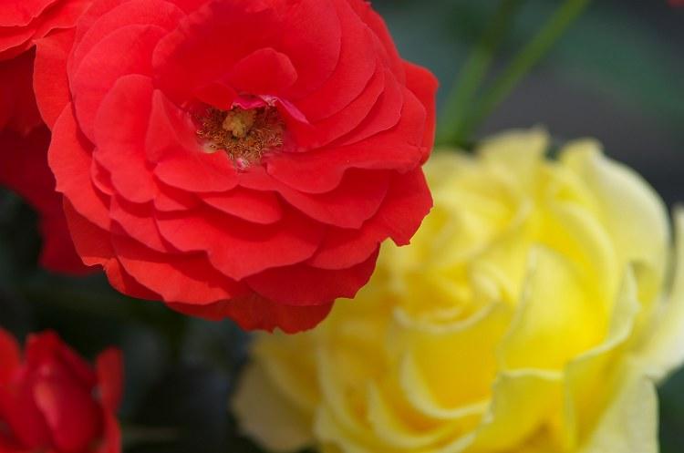 五月のバラ 2