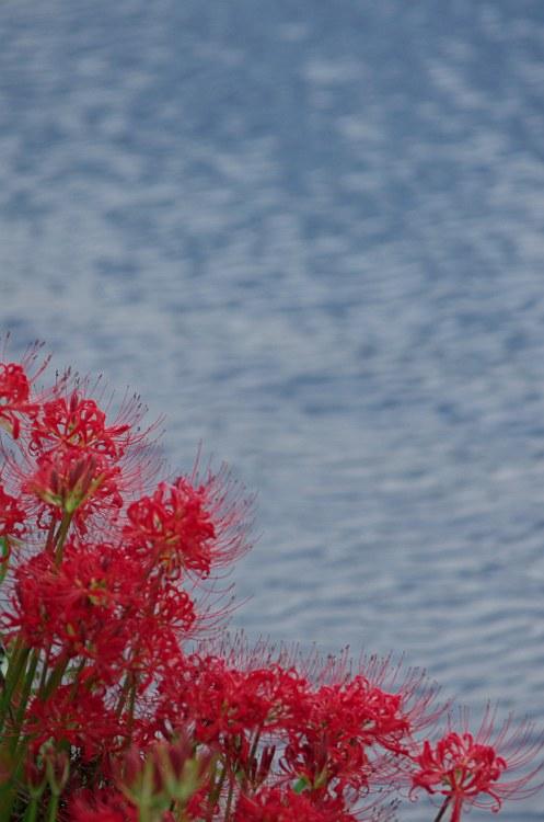 彼岸花が咲く風景 2